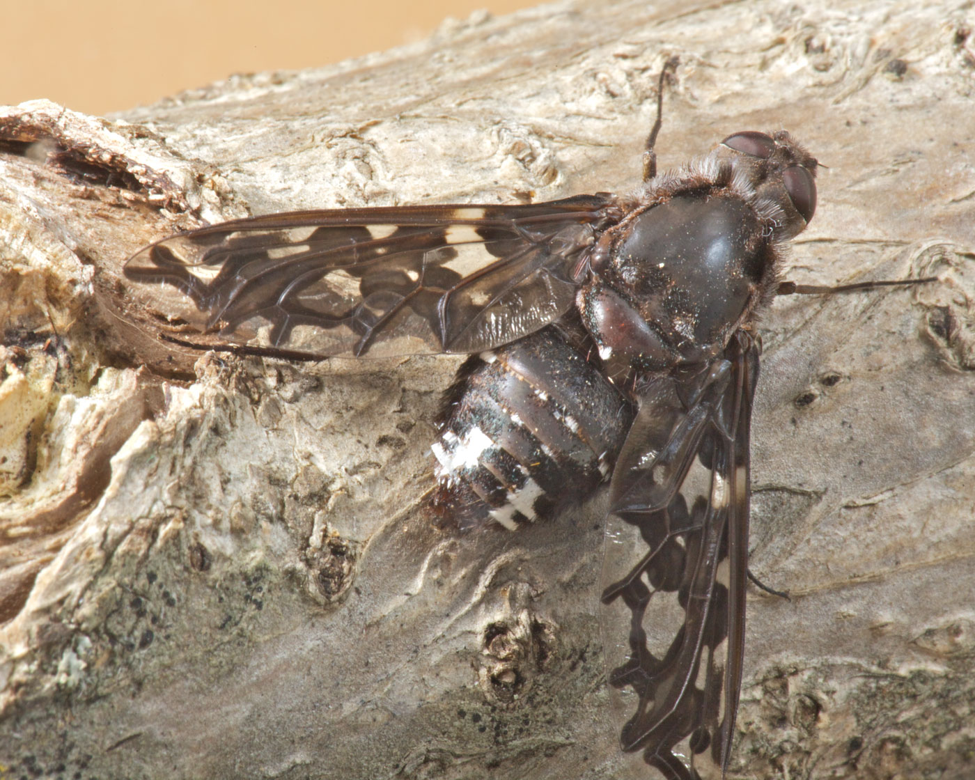 tiger-bee fly